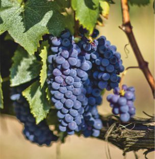 Виноград Брунелло