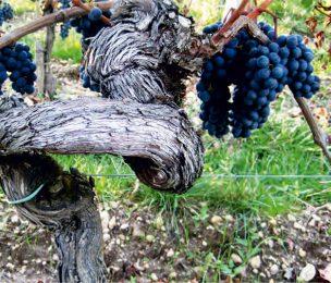 Шато Петрюс, виноградная лоза