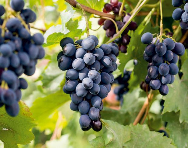 Виноградники Алаверди