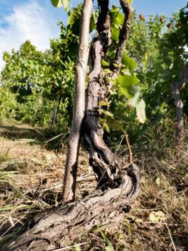 Виноградная лоза 150 лет, микрозона Хванчкара