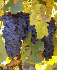 Areni grapes