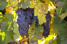Areni grapes