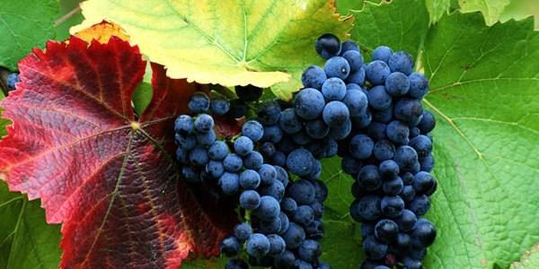 Медики обнаружили еще одно полезное свойство винограда