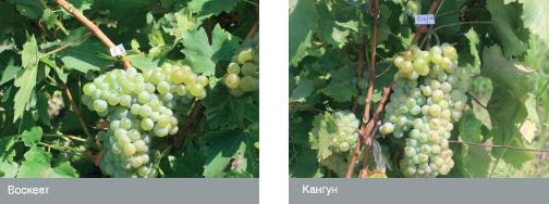 Сорта винограда армении: воскеат, кангун