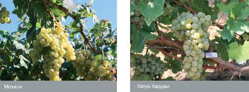 Сорта винограда армении: Мсхали, Хатун Харджи
