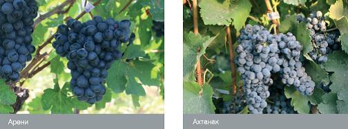 Сорта винограда армении: Арени, Ахтанак