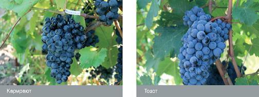 Сорта винограда армении: Кармрают, Тозот