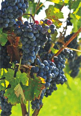 San Pedro de Yacochuya 2006 (Argentina). Grapes